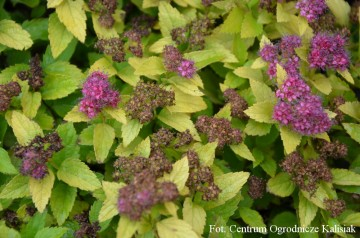 Spiraea japonica DOUBLE PLAY GOLD 'Yan' (Tawuła japońska) - C5