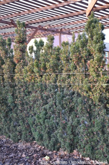 Taxus x media 'Mecenas'