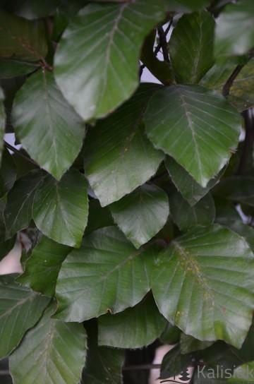 Fagus sylvatica 'Dawyck Purple' (Buk pospolity) - C5