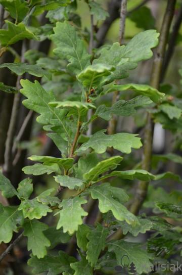 Quercus robur 'Jan Kiepura' (Dąb szypułkowy) - C5