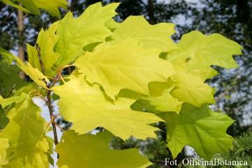Quercus rubra 'Aurea' (Dąb czerwony) - C5