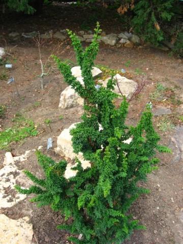 Chamaecyparis obtusa 'Chirimen' (Cyprysik tępołuskowy) - C5