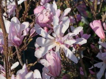 Magnolia stellata 'Rosea' (Magnolia gwiaździsta) - C5