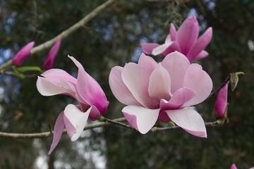 Magnolia 'Ricki' (Magnolia) - C5