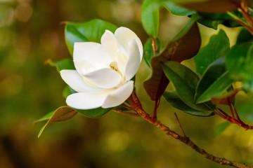 Magnolia grandiflora 'Francois Treyve' (Magnolia wielkokwiatowa) - C6