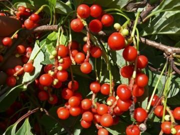 Schisandra chinensis 'Sadova No.1'