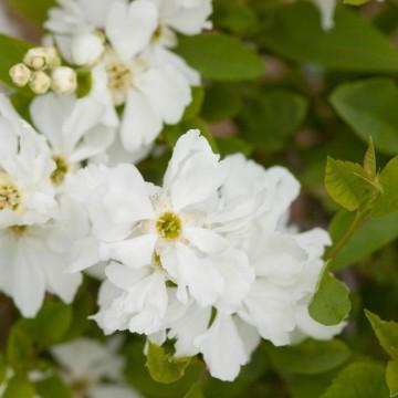 Exochorda macrantha LOTUS MOON 'Bailmoon' (Obiela mieszańcowa) - C5
