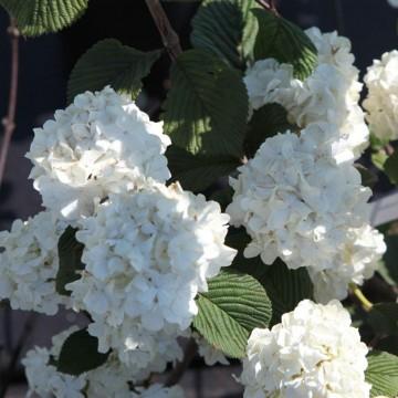 Viburnum plicatum 'Grandiflorum' (Kalina japońska) - C5