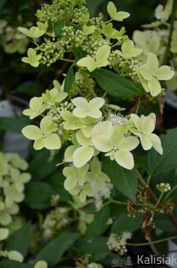 Hydrangea paniculata CONFETTI 'VLASVELD 02' (Hortensja bukietowa) - C3
