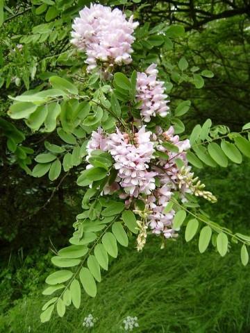 Robinia hartwigii (Robinia Hartwiga) - C5