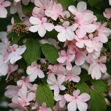 Viburnum plicatum 'Pink Beauty' (Kalina japońska) - C5
