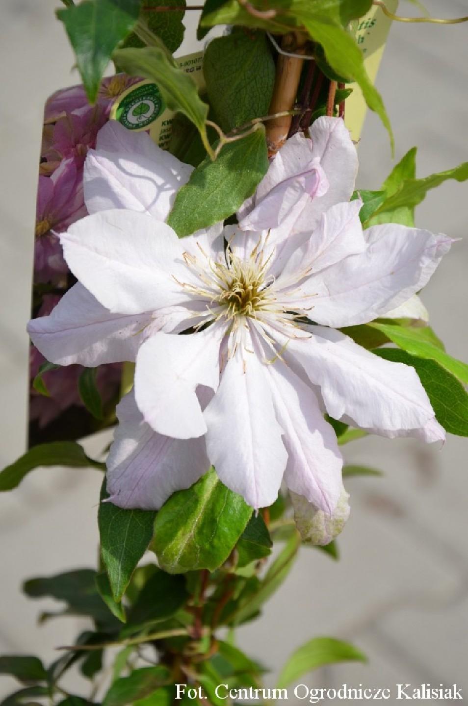 Clematis 'Violet Elizabeth'