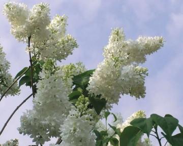 Syringa vulgaris 'Liliana' (Lilak pospolity) - C5