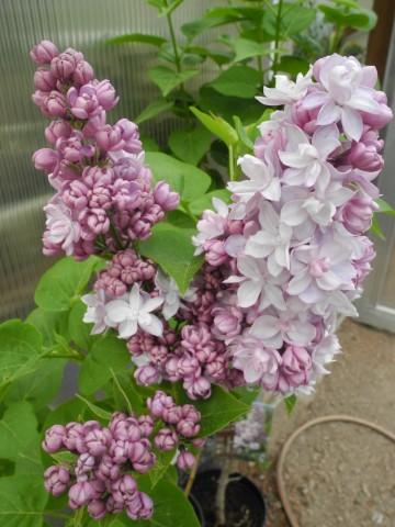 Syringa vulgaris ROSE DE MOSCOU 'Minkarl' (Lilak pospolity) - C5