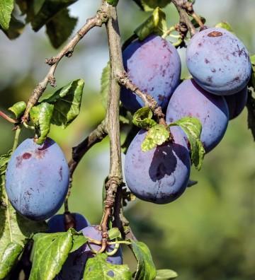 Prunus domestica 'President' (Śliwa) - C5