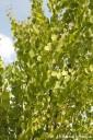 Cercidiphyllum japonicum (Grujecznik japoński) - C5