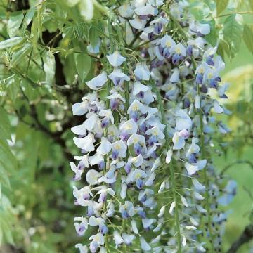 Wisteria floribunda 'Multijuga' (Glicynia kwiecista) - C2