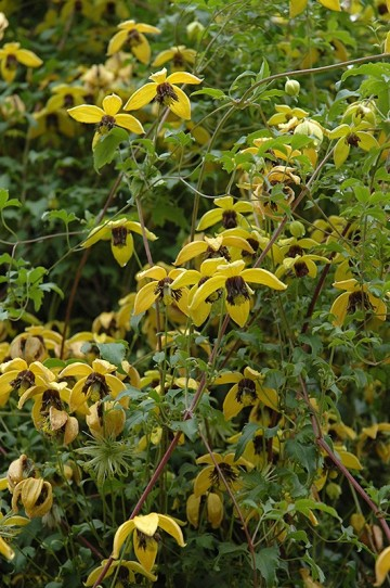 Clematis GOLDEN TIARA 'Kugotia'