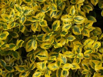 Euonymus fortunei 'Sunshine' (Trzmielina Fortune'a) - C2