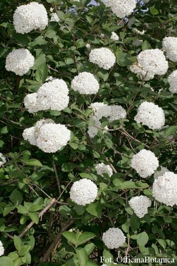 Viburnum carlcephalum (Kalina angielska) - C5