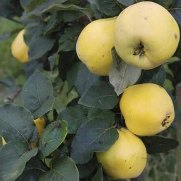 Cydonia oblonga 'Leskovac' (Pigwa pospolita) - C2