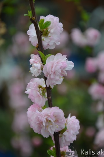 Prunus triloba (Migdałek trójklapowy) - C5