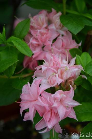 Rhododendron 'Homebush' (Azalia wielkokwiatowa) - C3
