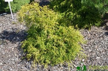 Chamaecyparis pisifera 'Filifera Aurea Nana' (Cyprysik groszkowy) - C3