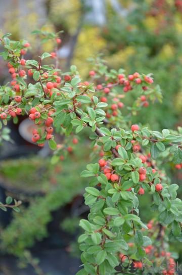 Cotoneaster dammeri 'Ursynów' (Irga Dammera) - C2