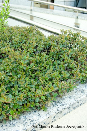 Cotoneaster suecicus 'Skogholm' (Irga szwedzka) - C1.5