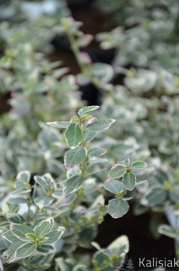 Euonymus fortunei 'Emerald Gaiety' (Trzmielina Fortune'a) - C1.5