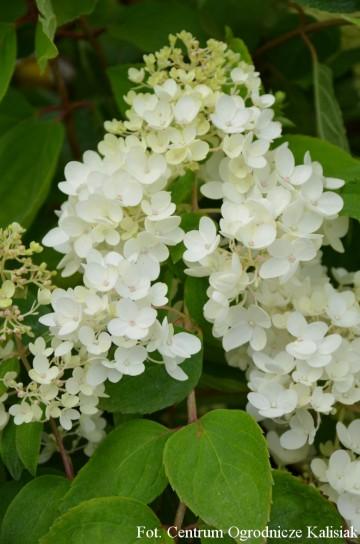 Hydrangea paniculata 'Grandiflora' (Hortensja bukietowa) - C5