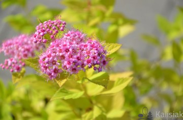 Spiraea japonica 'Golden Princess' (Tawuła japońska) - C1.5