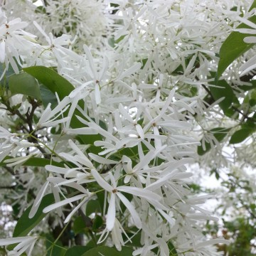 Chionanthus retusus (Śniegowiec chiński) - C5