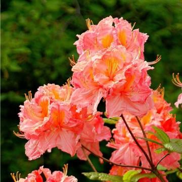 Rhododendron 'Cecile' (Azalia wielkokwiatowa) - C3