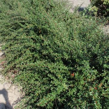 Cotoneaster dammeri 'Mooncreeper' (Irga Dammera) - C2