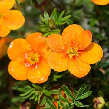 Potentilla fruticosa 'Tangerine' (Pięciornik krzewiasty) - C2