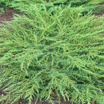 Juniperus horizontalis 'Green Carpet' (Jałowiec płożący) - C2