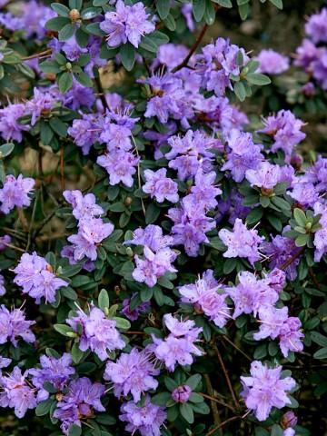 Rhododendron impeditum 'Ramapo' (Różanecznik gęsty) - C2