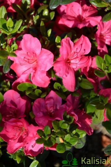 Rhododendron japanese azalea 'Purpurkissen'