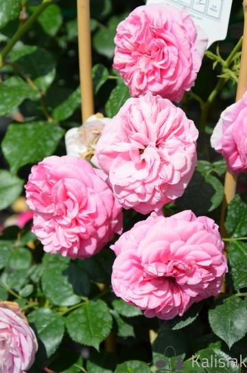 Rosa 'Baronesse' (Róża nostalgiczna) - C5