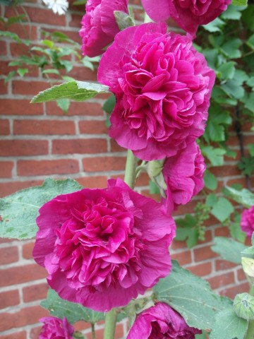 Alcea rosea 'Double Purple' (Malwa)  - P11