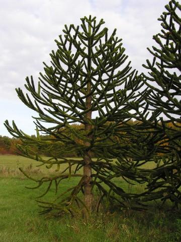 Araucaria araucana (Araukaria chilijska) - C3
