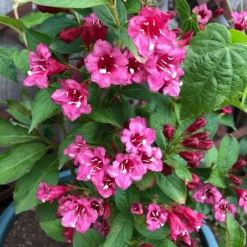 Weigela florida 'Rosea' (Krzewuszka cudowna) - C5