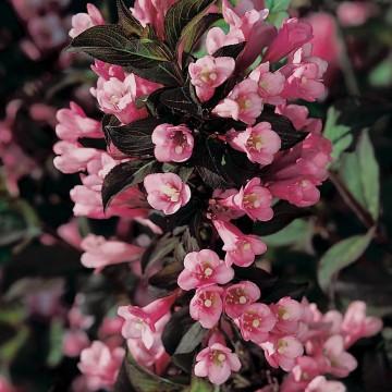 Weigela florida 'Foliis Purpureis' (Krzewuszka cudowna) - C5
