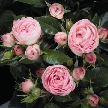 Rosa 'Lovely Rokoko' (Róża) - C5