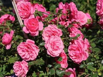 Rosa STARLET ROSES 'Eva' (Róża) - C5