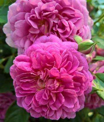 Rosa STARLET ROSES 'Melina' (Róża) - C5