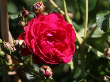 Rosa STARLET ROSES 'Lola' (Róża) - C5