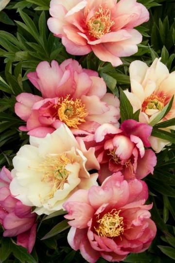Paeonia ITOH 'Julia Rose' (Piwonia) - C5